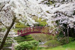 Вишневые цвета в японском саде Стоковые Изображения RF