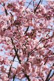 Цветения дерева Стоковое Изображение