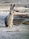黑被盯梢的长耳大野兔直立的东西 库存照片