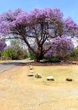 开花的兰花楹属植物树 库存照片