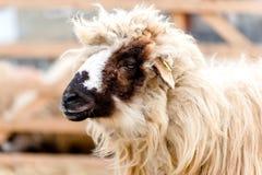 乡下种田-绵羊特写镜头在农场的 免版税库存照片