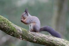 红松鼠,寻常的中型松鼠 免版税图库摄影
