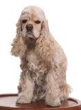美丽的美国美卡犬 图库摄影