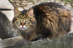 猫显示舌头。 免版税库存图片