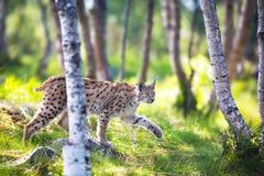 Рысь крадясь в лесе Стоковые Фотографии RF