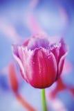 美丽的桃红色郁金香花 免版税库存图片