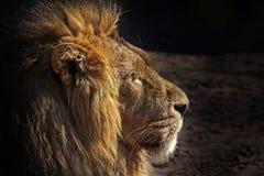 一头公非洲狮子(豹属利奥)的画象。 免版税库存照片