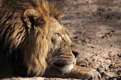 一头公非洲狮子(豹属利奥)的画象。 免版税库存图片