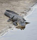 美国短吻鳄 免版税图库摄影