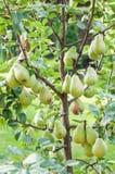 Δέντρο αχλαδιών Στοκ φωτογραφία με δικαίωμα ελεύθερης χρήσης