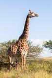 野生生物长颈鹿动物原野 免版税库存照片