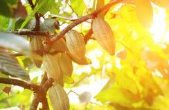 Плодоовощ какао растет на дереве Стоковые Изображения