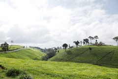 与绿茶种植园的美丽的小丘 免版税库存照片