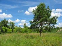 与一棵偏僻的杉木树的夏天风景 免版税库存图片