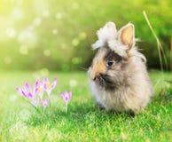 Μωρό λαγών άνοιξη στον κήπο στη χλόη με τα λουλούδια κρόκων Στοκ Φωτογραφίες
