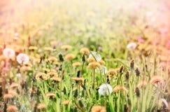 在美丽的草甸的蒲公英 免版税库存照片