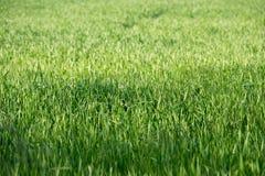 绿色杂草 库存图片