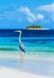 在马尔代夫海岛上的灰色苍鹭 库存照片