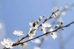 在一棵野黑樱桃花的蜂 免版税图库摄影