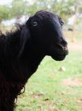 черные овцы Стоковое Изображение