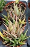 三棵多汁植物叶子  免版税库存图片