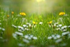 小的雏菊和蒲公英在草甸 图库摄影