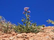 美国,犹他:一点沙漠花-蝎子杂草 免版税图库摄影