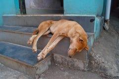 睡觉狗,果阿 库存照片