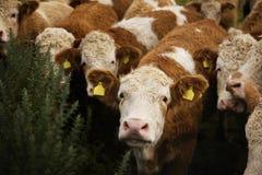 逗人喜爱卷发母牛凝视 免版税图库摄影