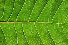 листья детали Стоковое Фото