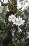 狂放的百合花在树增长 免版税库存照片