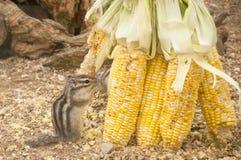 金黄陆运被覆盖的灰鼠 免版税库存图片