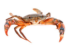 在白色背景隔绝的黑螃蟹 库存图片