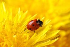 在黄色蒲公英花宏指令的小的瓢虫 免版税库存照片