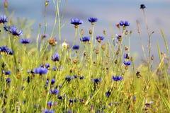 在领域的蓝色矢车菊 免版税图库摄影