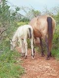 与她的驹的母马。自由 免版税库存图片