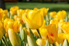 黄色郁金香 库存图片