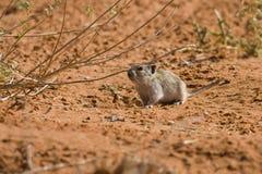 沙漠鼠标侏儒 免版税图库摄影