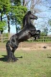 腾跃华美的黑的公马 免版税库存图片