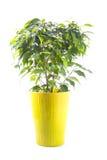 在白色隔绝的一个明亮的陶瓷罐的榕属树 免版税库存图片