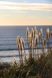 золотистая трава Стоковые Фотографии RF