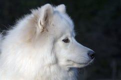 萨莫耶特人狗 库存照片