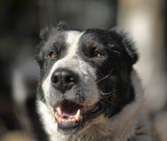 καυκάσιος ποιμένας σκυλιών Στοκ Φωτογραφίες
