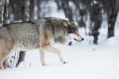 偷偷地走在冬天森林里的狼 免版税库存图片