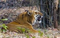 笑的皇家孟加拉老虎 免版税库存图片