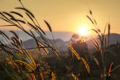 Трава Пампаса Стоковая Фотография RF