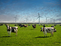 吃草在一个绿色茂盛的牧场的母牛 免版税库存图片