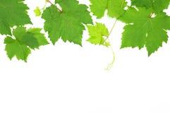 新鲜的绿色葡萄叶子 免版税库存图片