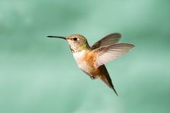 红褐色蜂鸟在飞行中,女性 免版税库存图片