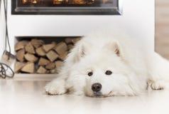 由壁炉的萨莫耶特人狗 免版税库存照片